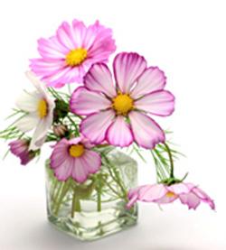 cosmos - 2nd anniversary flower