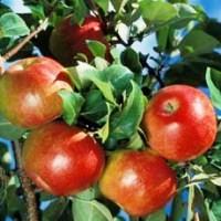 romantic apple tree