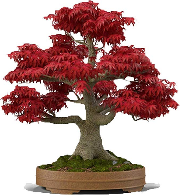 5 year Anniversary Bonsai gift
