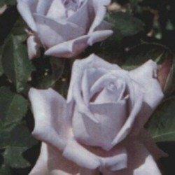 25th anniversary rose