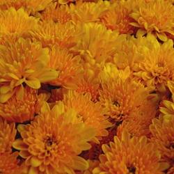 bronze chrysanthemum